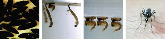 ciclo biologico della zanzara tigre